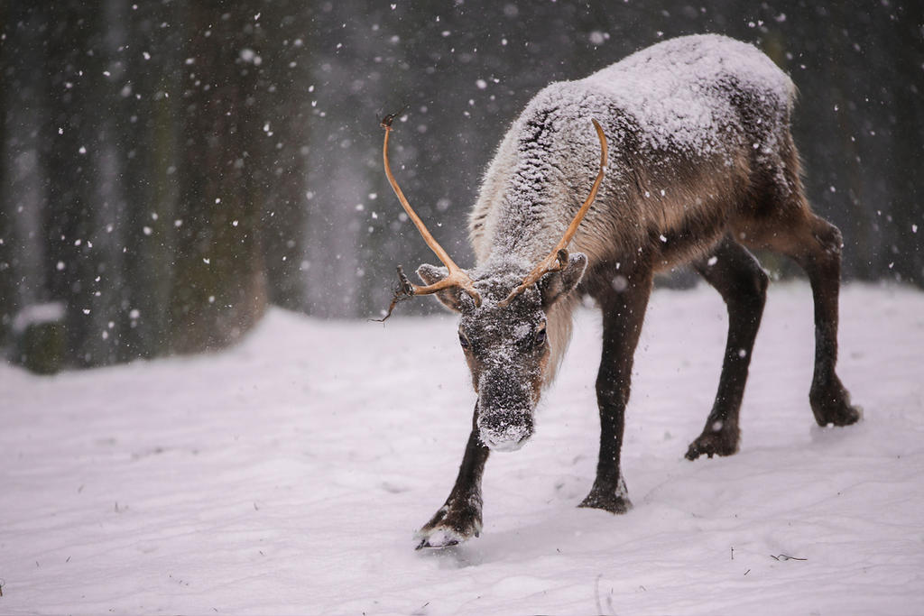 reindeer by Quiet-bliss