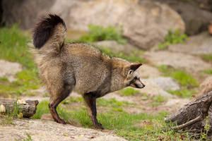 bat-eared fox by Quiet-bliss