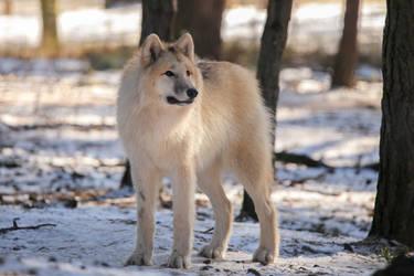 Polarwolf by Quiet-bliss