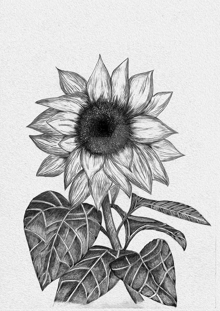 Sunflower Sketch by stefanogemi on DeviantArt