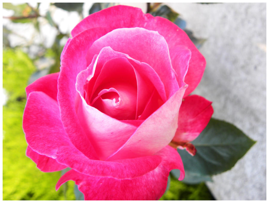 Pink Rose By Basement Ghost On DeviantArt