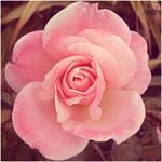 Pink Rose Square