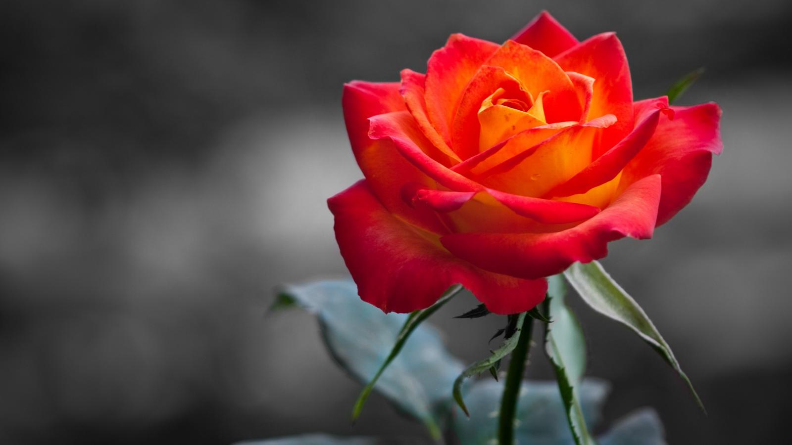Rose by dragonitearmy