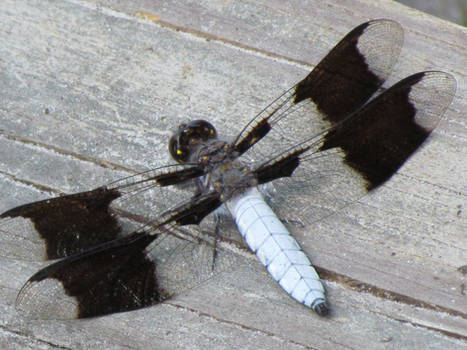 Back of a Dragonfly