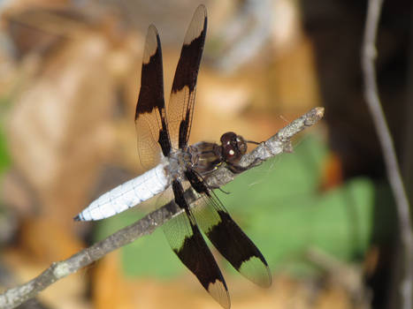 Back of a Dragonfly 2