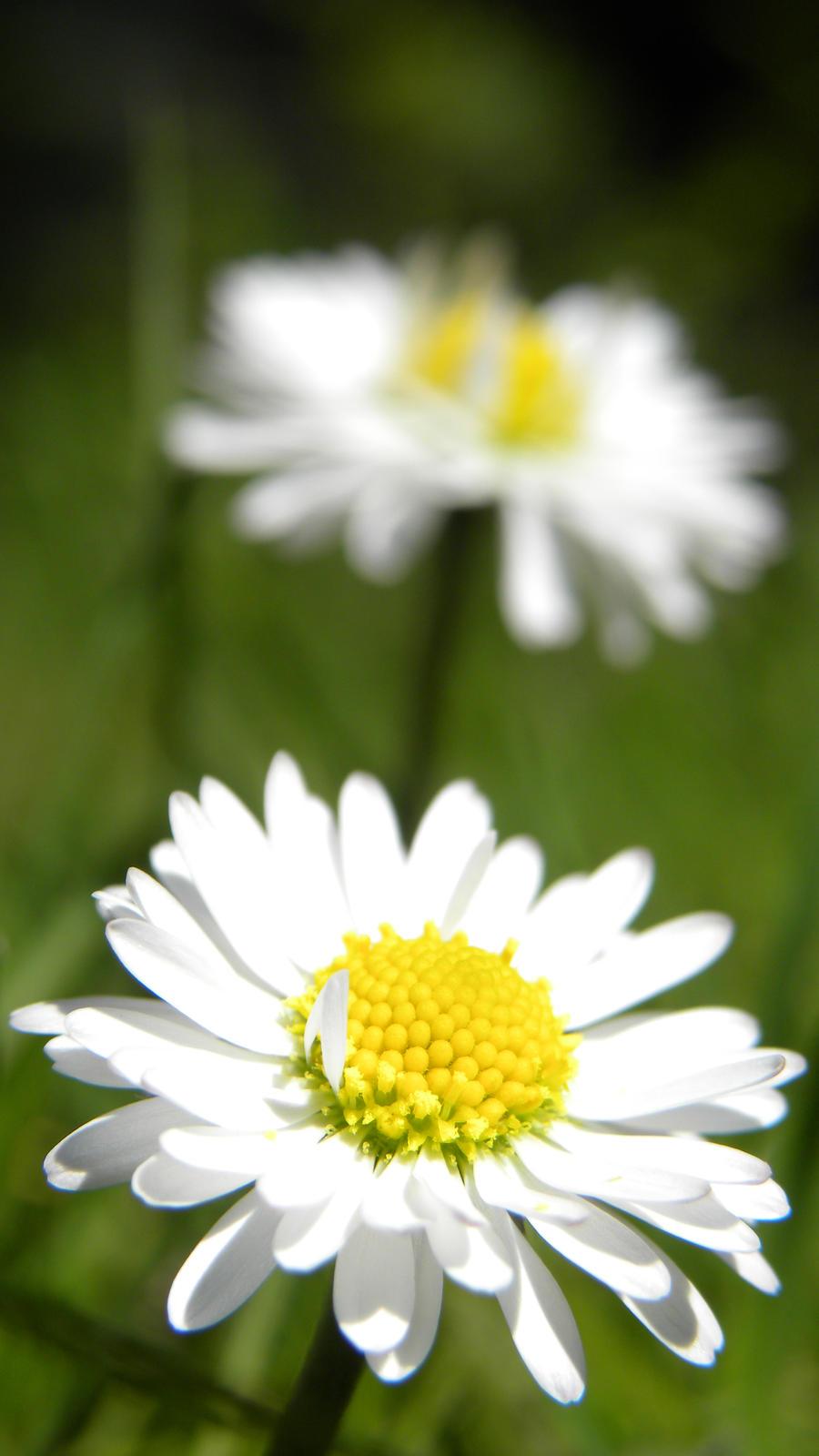 Daisys by Darkdragon15