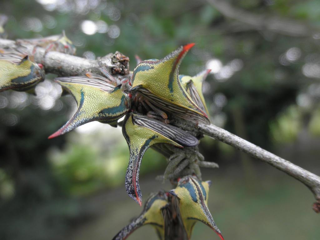 treehopper by juandoso