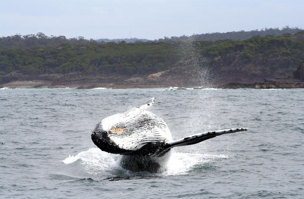 Humpback Whale 5283 by Kwayera