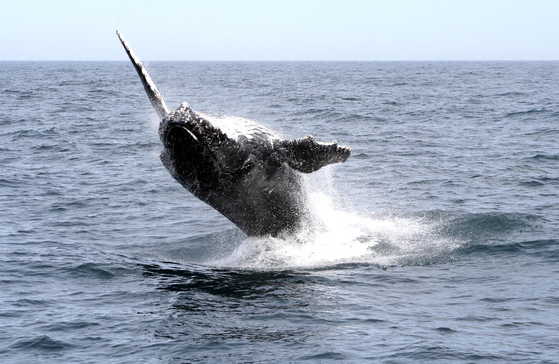 Humpback Whale 5326 by Kwayera