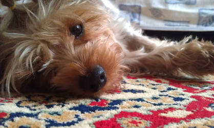 My yorkshire terrier: Molly
