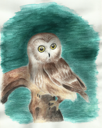 Northern Saw-whet (Owl) watercolour painting
