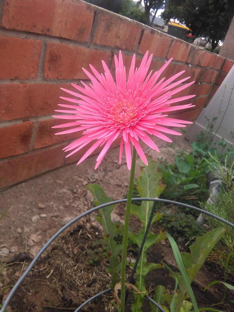 Pink Garden Flower by AutumnForrest
