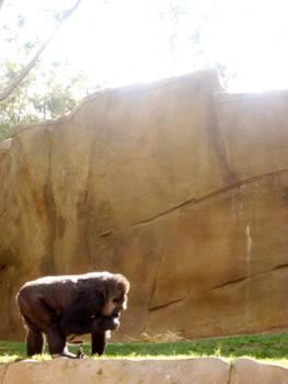 Gorilla in the Light