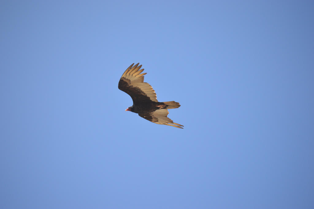 Vulture in Flight by Wolflover36
