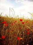 In Flander's Fields
