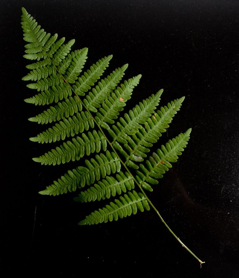 Fern sample by indi-is-conan