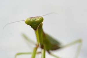 Praying Bug