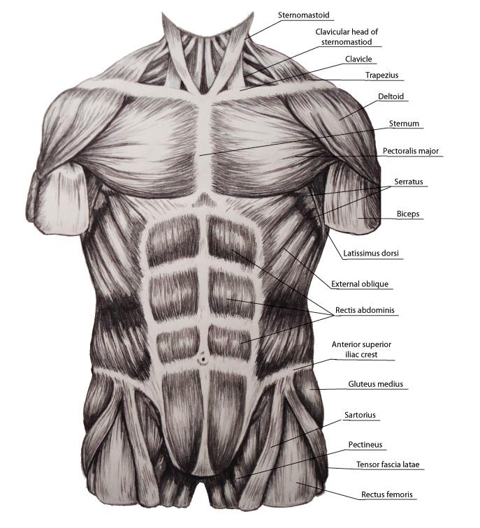 Study Of Torso Muscles By Megasquid On Deviantart