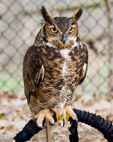 Great Horned Owl by inuyashawannabe