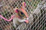 Rainbow Rat - needle felted