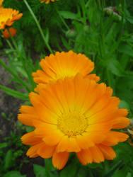 OrangeFlowerbyReticulum by reticulum