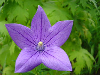 VioletFlowerbyReticulum by reticulum