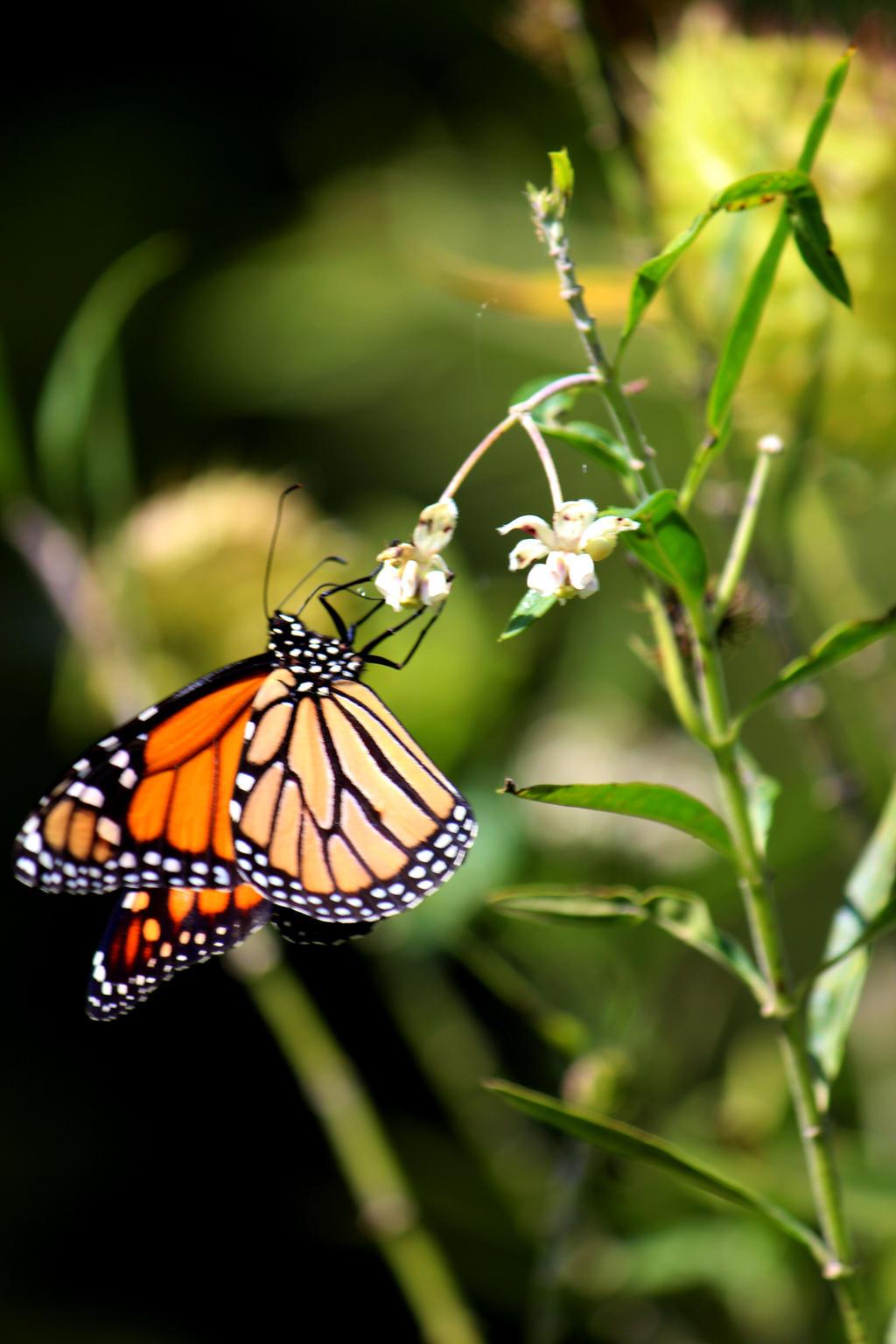 Monarch Butterfly by courtneytartan
