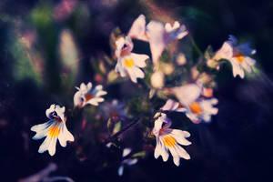 Euphrasia rostkoviana Hayne by gucspeed