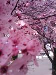 Cherry Blossom pt 1