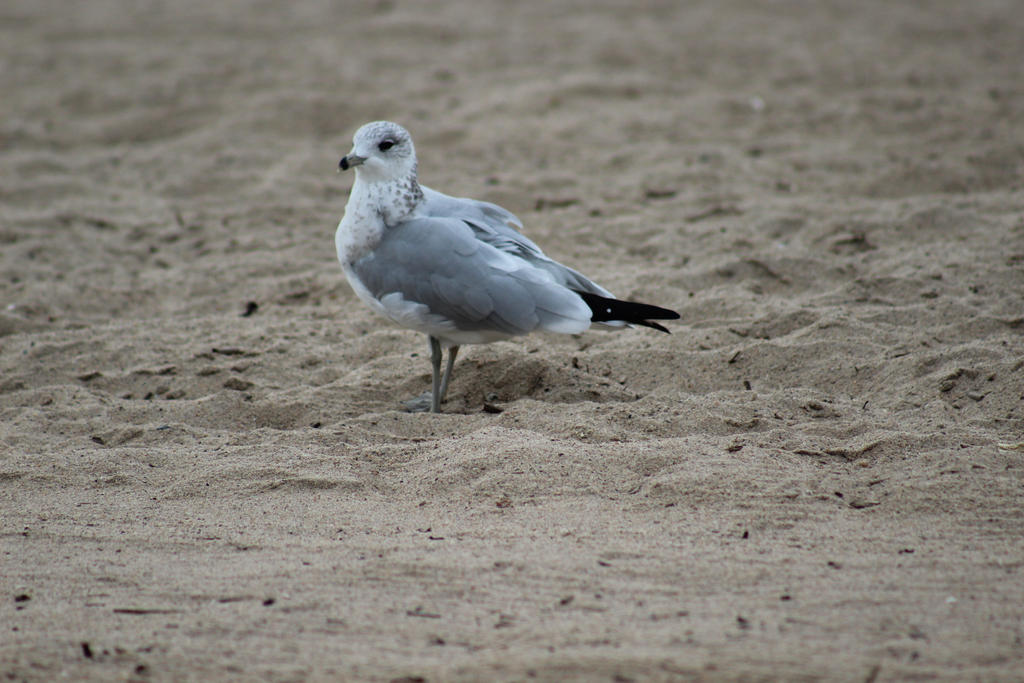 Observing Seagull by ADU101