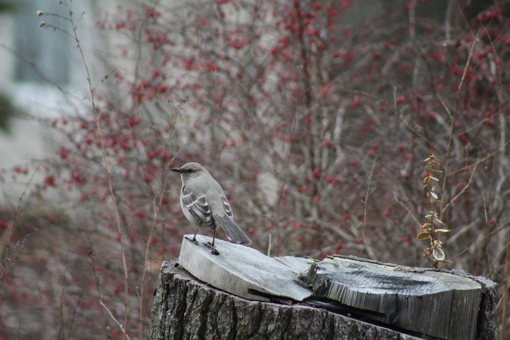 Mockingbird (2) by ADU101
