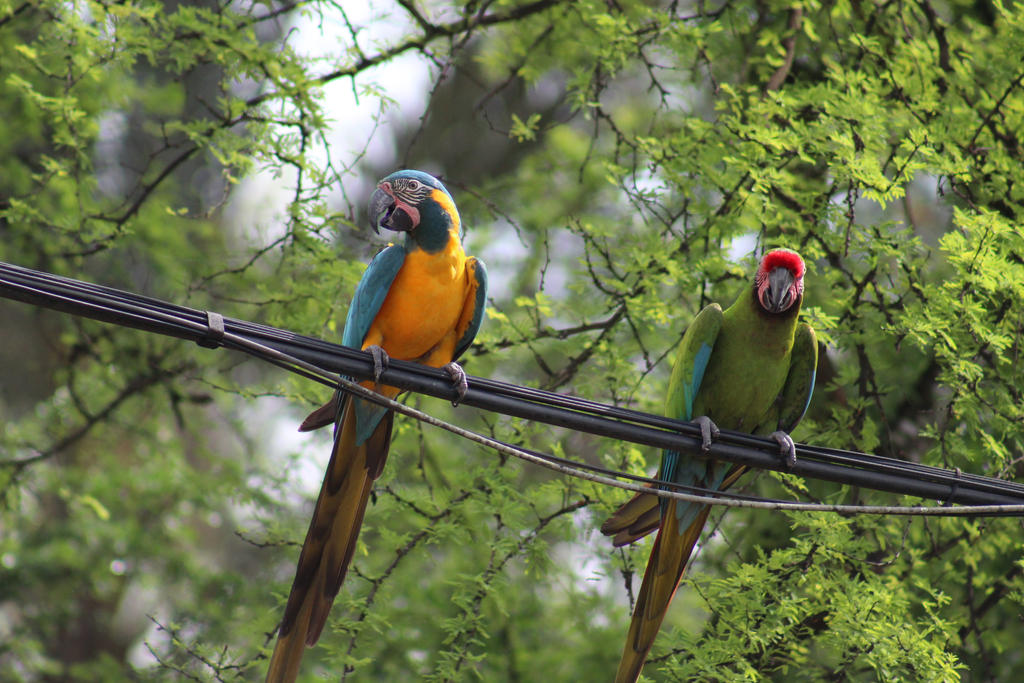 Macaws on a Wire by ADU101