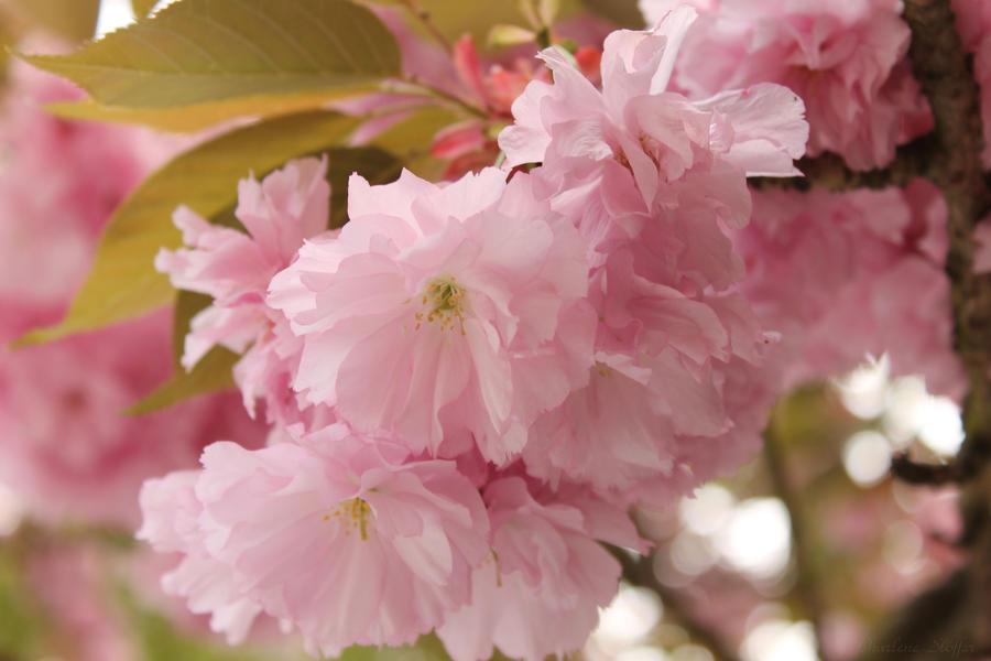 Japanilainen Kirsikka Kukka by Seqbre