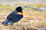 The Red-winged Blackbird Model by Sonussilentii