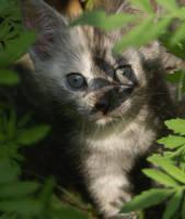 kitten V by maltissimo