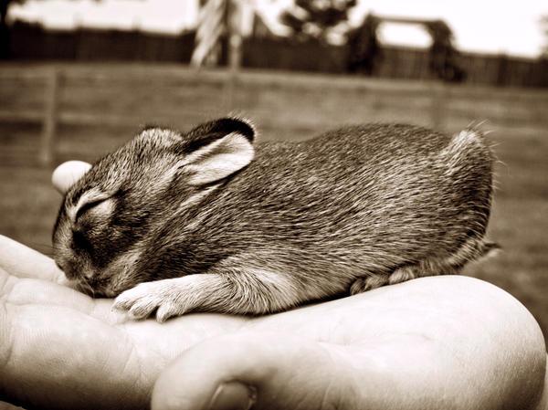 baby bunny by gwumpysmurf