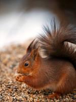 Red Squirrel - Skansen
