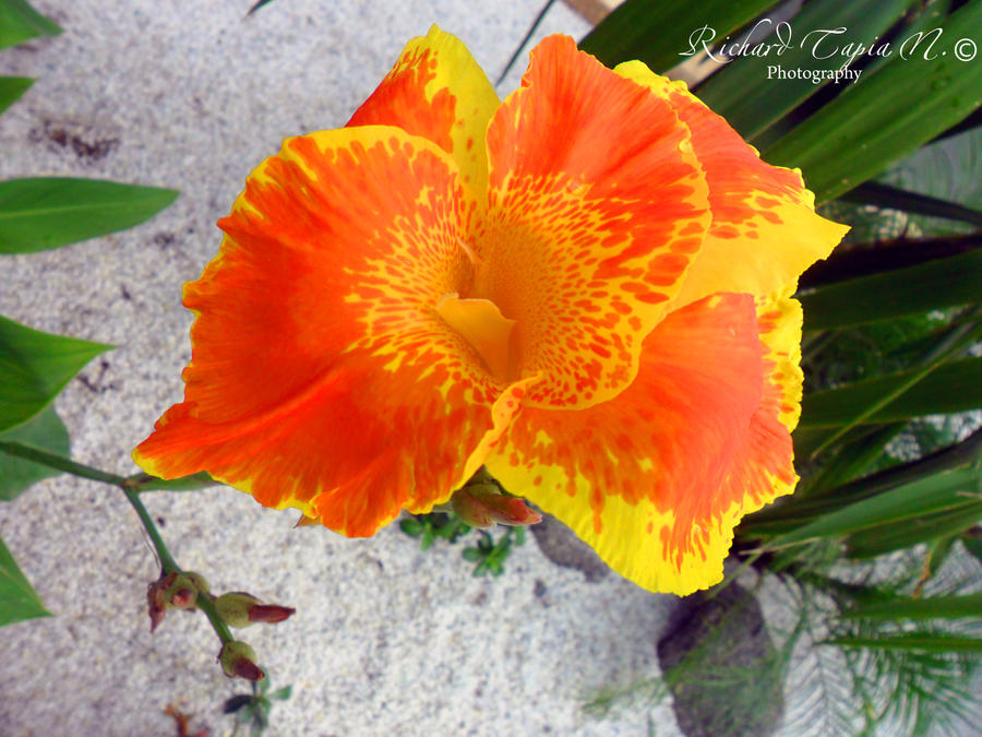 exotic flowers of colombia by richardcpra on deviantart, Natural flower