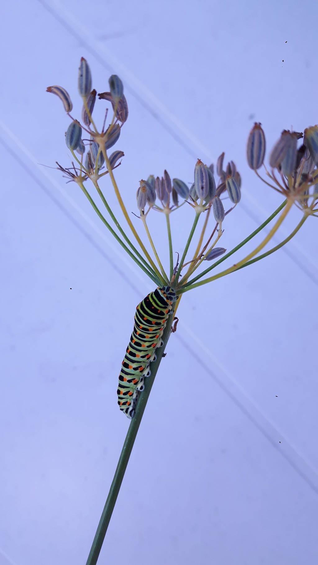 Larval on fennel by bormolino