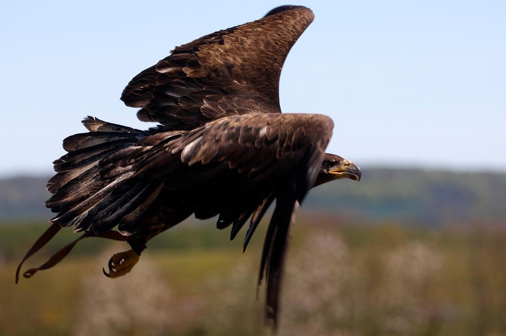 eagle in flight by ImStuck