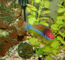 Pixie The Fairy Wrasse by FreshwaterMermaid