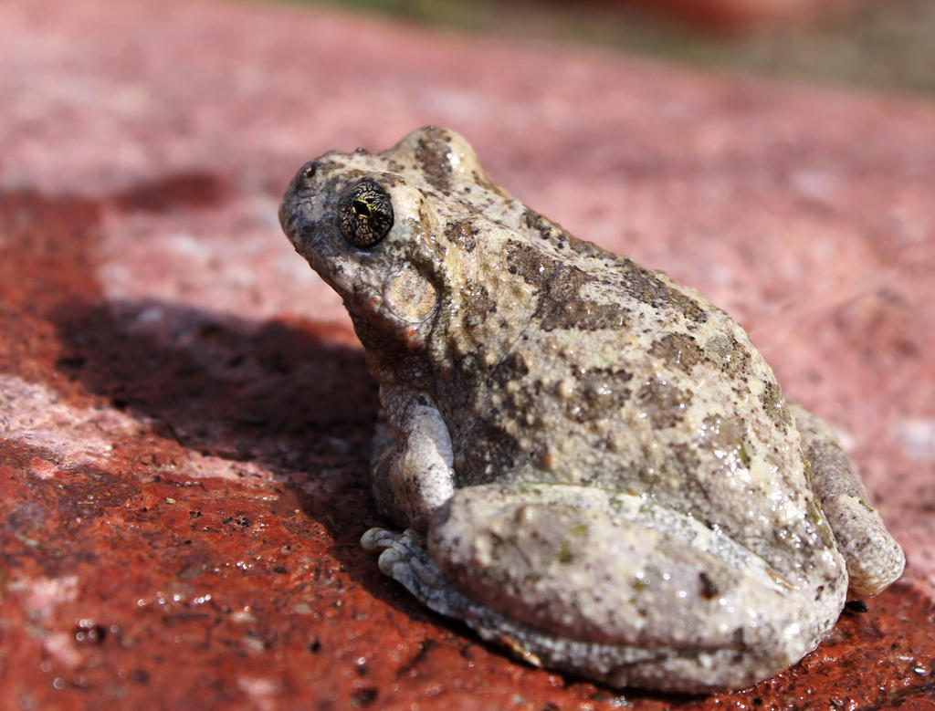 Canyon Treefrog by InfinityandOne