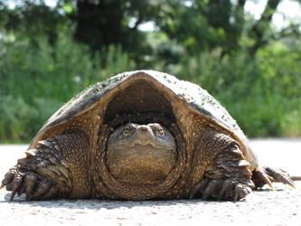 snapper turtle by wmquincy101