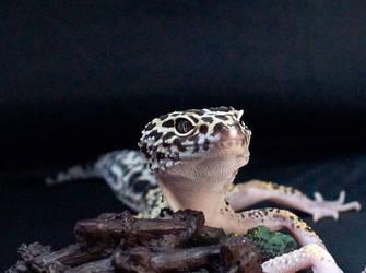 Iranian gecko Aria by kessan