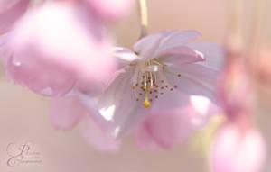 Cherry Blossom by PassionAndTheCamera