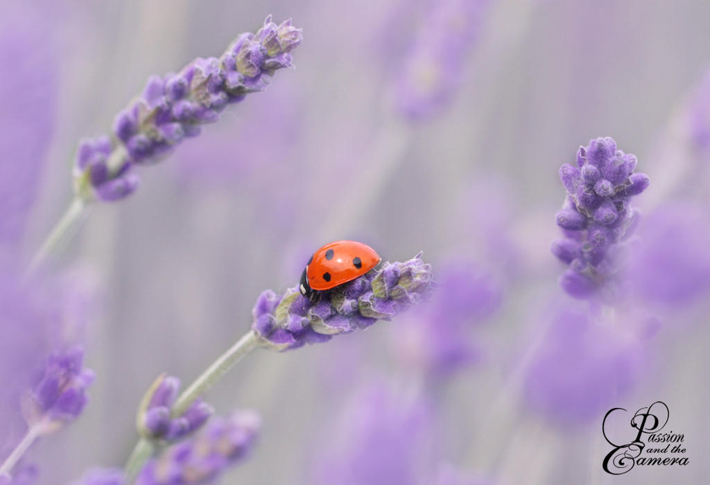Lavender and Ladybug by PassionAndTheCamera