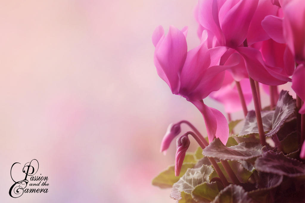 Cyclamen Persicum by PassionAndTheCamera