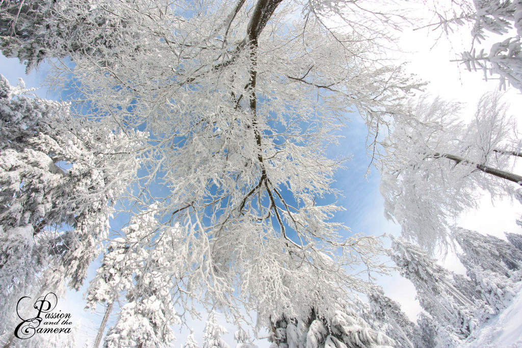 Snowy Trees and a Blue Sky by PassionAndTheCamera