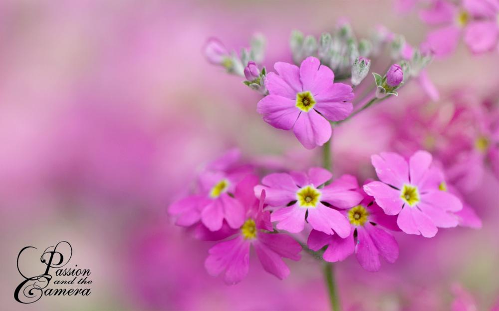 Primula Malacoides by PassionAndTheCamera