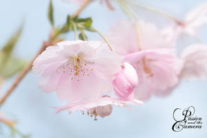 Cherry Blossoms I by PassionAndTheCamera